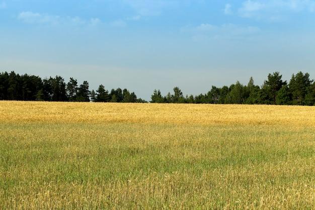 Landbouwgebied met onrijpe en rijpe tarwe