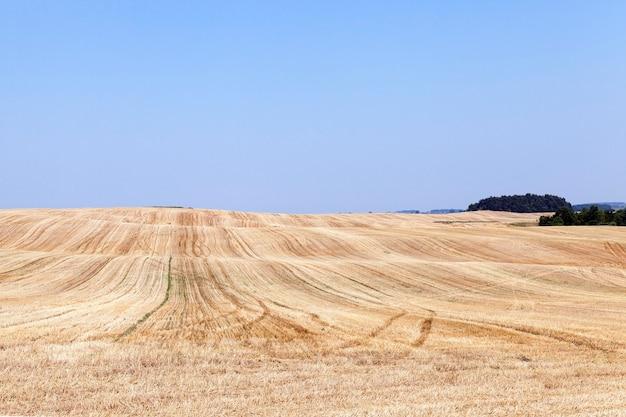 Landbouwgebied met tarwe blauwe hemel een kleine scherptediepte