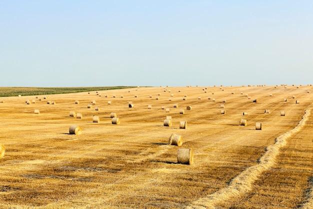 Landbouwgebied om de rijpe gele tarwe, blauwe hemel, een kleine scherptediepte te oogsten