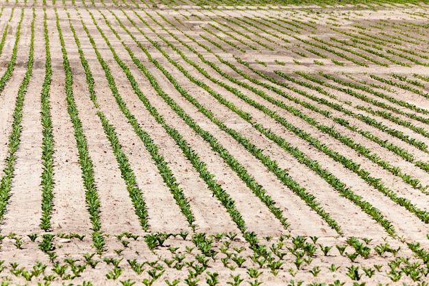 Landbouwgebied om gewassen op te verbouwen