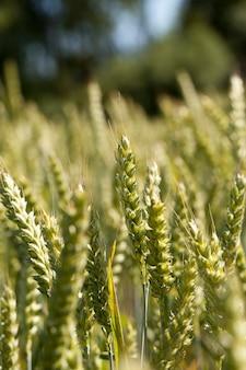 Landbouwgebied tarwe close-up onrijpe groene tarwe oren groeien op landbouwgebied Premium Foto