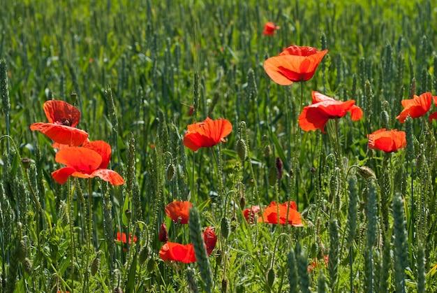 Landbouwgebied van groene tarwe met bloesem van rode papaver bloemen in een zonnige zomerdag.