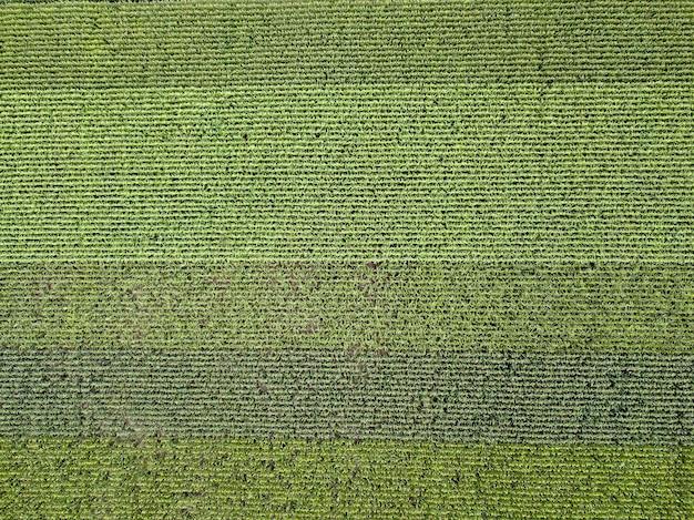 Landbouwgebied van maïs bij zonsondergang in de zomer. panoramisch uitzicht vanaf drone. natuurlijke plant achtergrond. bovenaanzicht.
