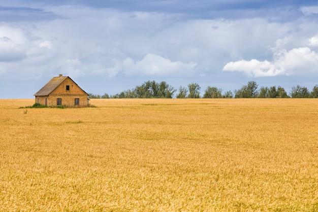 Landbouwgebied waar groene rogge groeit, landbouw voor graanoogst, rogge is jong en groen en nog onvolwassen, landschap van landbouwgewas rogge met een huis in het veld