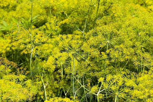 Landbouwgebied waar kweekvariëteiten van dille worden gekweekt groene dilleplanten op vruchtbare grond