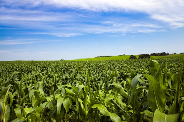 Landbouwgebied waar ze maïs verbouwen