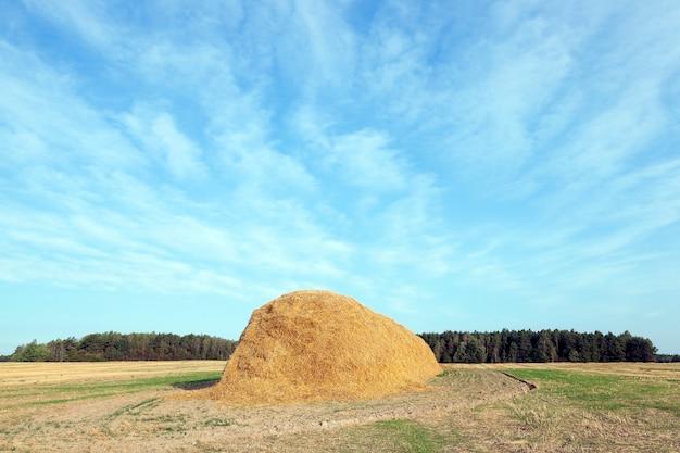 Landbouwgebied waarop bleven liggen stro hooibergen na de tarweoogst, graanveld, landbouw en biologisch voedsel, herfstseizoen, blauwe lucht