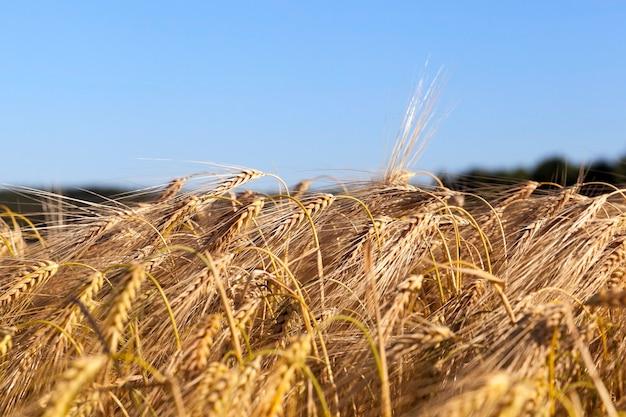 Landbouwgebied waarop granen tarwe opgroeien, wit-rusland, rijpe en vergeelde granen, kleine scherptediepte