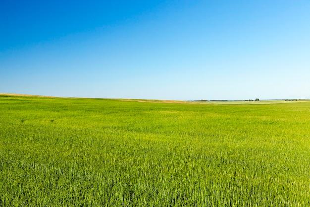Landbouwgebied waarop groen onrijp tarwegras, landschap, blauwe lucht en bomen groeit