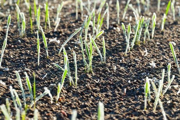 Landbouwgebied waarop groene scheuten van rogge groeien, bedekt met ochtendvorstwit.