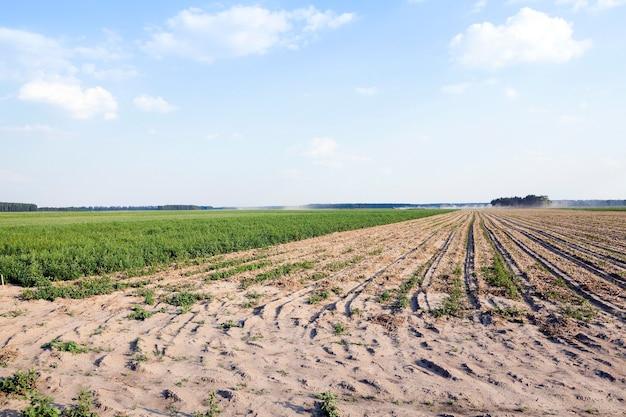 Landbouwgebied waarop groene uien groeien