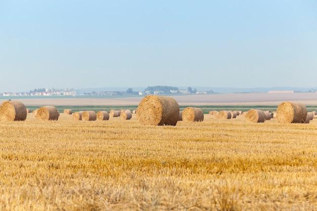 Landbouwgebied waarop het oogsten van granen, tarwe.