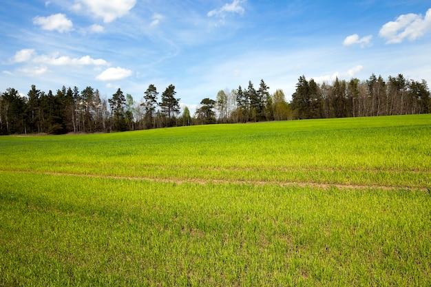Landbouwgebied waarop onrijp groen gras groeit in de lente