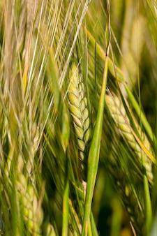 Landbouwgebied waarop onrijpe granen groeien, tarwe.