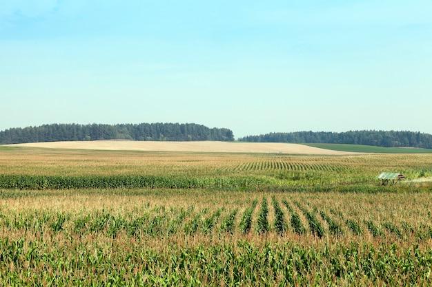 Landbouwgebied waarop onrijpe groene maïs groeit. op de achtergrond de blauwe lucht en het bos