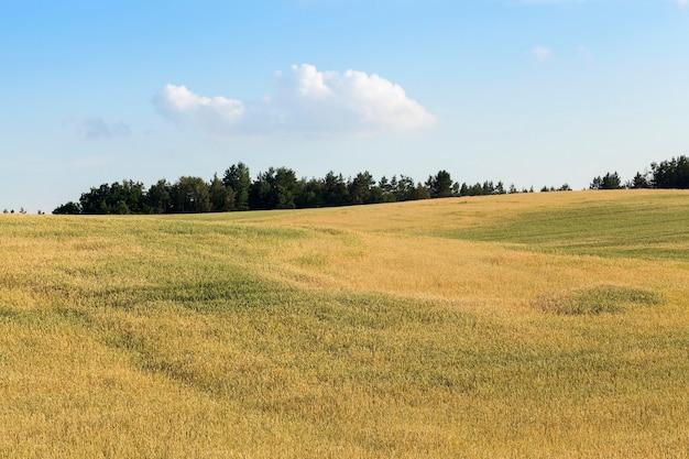 Landbouwgebied waarop onrijpe jonge granen groeien, tarwe. blauwe hemel met wolken op de achtergrond