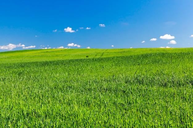 Landbouwgebied waarop onrijpe jonge granen groeien, tarwe. blauwe lucht met wolken in de