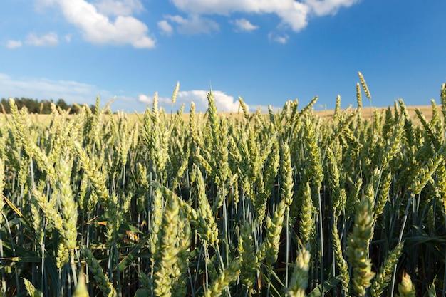 Landbouwgebied waarop onrijpe jonge granen groeien, tarwe. blauwe lucht met wolken op de achtergrond