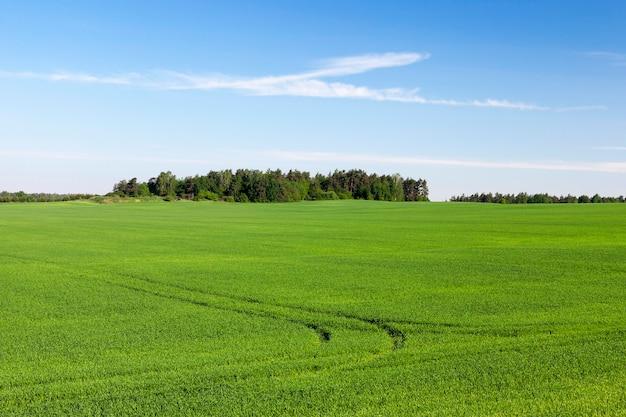 Landbouwgebied waarop onrijpe jonge granen groeien, tarwe. blauwe lucht op de achtergrond