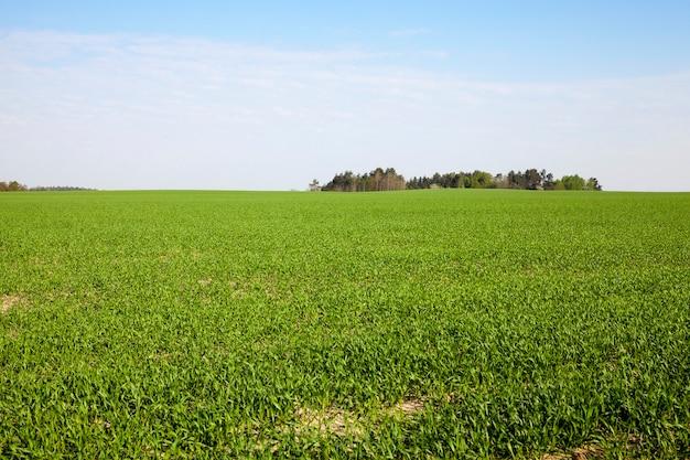 Landbouwgebied waarop onrijpe jonge granen groeien, tarwe.
