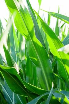 Landbouwgebied waarop onrijpe maïs groeit, close-up bladeren