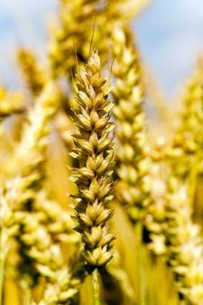Landbouwgebied waarop rijpe granen groeien