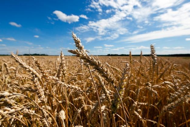 Landbouwgebied waarop rijpe vergeelde granen groeien