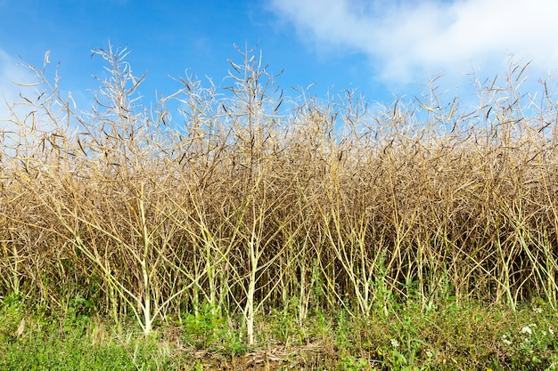 Landbouwgebied waarop rijpende canola, close-upfoto groeien
