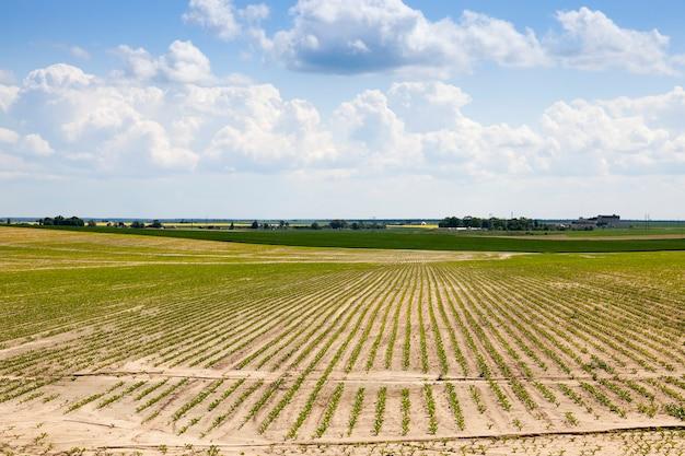 Landbouwgebied waarop suikerbieten worden verbouwd.