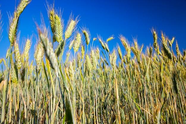 Landbouwgebied waarop vergeeld gras groeit, dat bijna klaar is voor de oogst, close-up. op de achtergrond een blauwe lucht