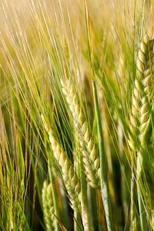 Landbouwgebied waarop vergeeld gras groeit, dat bijna klaar is voor de oogst, close-up