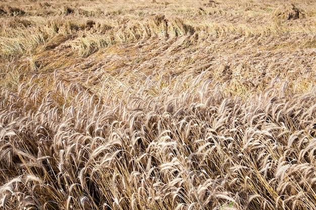 Landbouwgebied waarop vergeeld gras groeit, dat bijna klaar is voor de oogst, close-up.