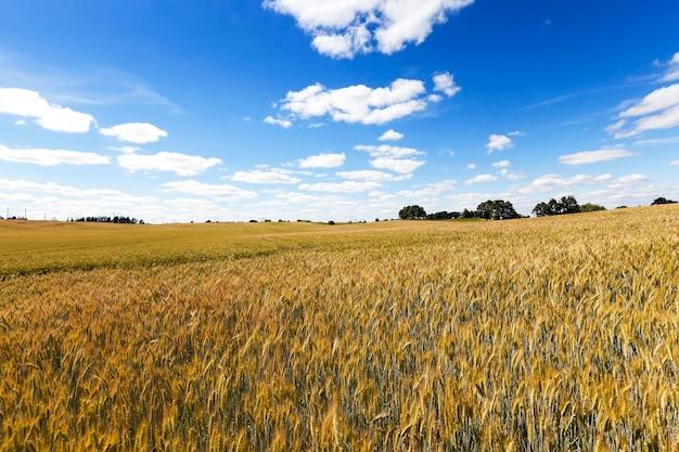 Landbouwgebied waarop vergeelde rijpe tarwe aan de boom groeit