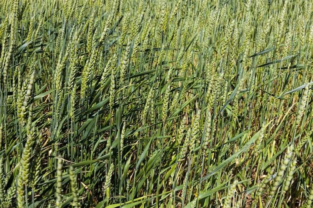 Landbouwgranen die worden verbouwd met ggo's en meststoffen om de beste grote oogst tarwe- of roggeproducten te produceren