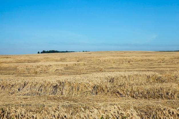 Landbouwgrond granen - landbouwgebied waarop granen opgroeien tarwe, wit-rusland, rijpe en vergeelde granen, kleine scherptediepte
