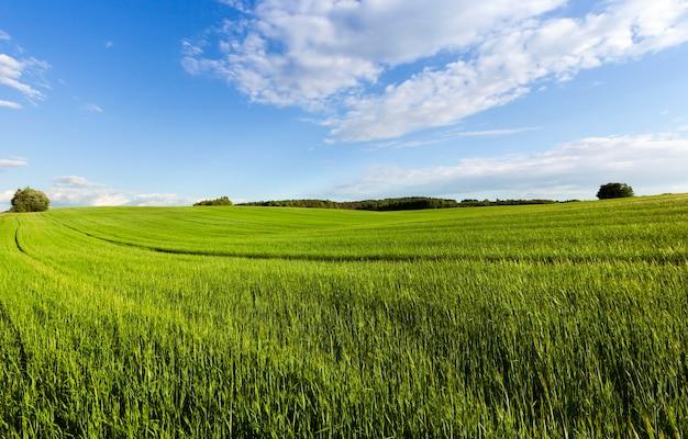 Landbouwgrond met groen gras en oneffen terrein, zomerlandschap met tarwe of rogge als ze nog niet zijn gegroeid of gerijpt