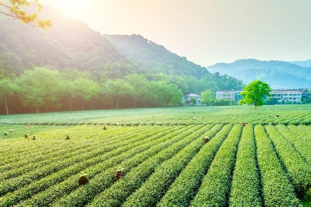 Landbouwgrond vrouw plukken plantage organisch