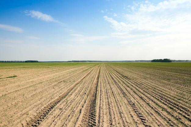 Landbouwgrond waarop de jonge groene uien groeien. defect aanwezig op de stelen van ui