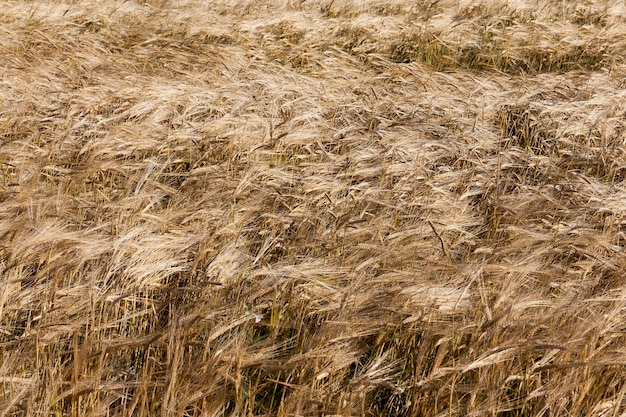 Landbouwgrond waarop droge oranje en gele granen groeien. herfstseizoen