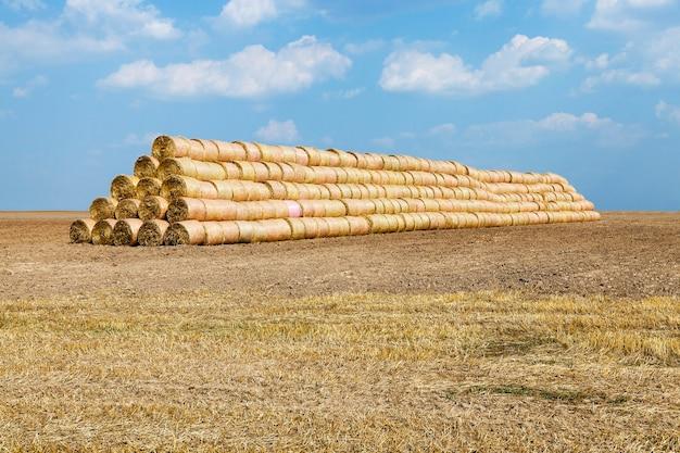 Landbouwgrondgraan - landbouwgrond waarop granen groeien, tarwe, wit-rusland, rijpe en vergeelde granen,