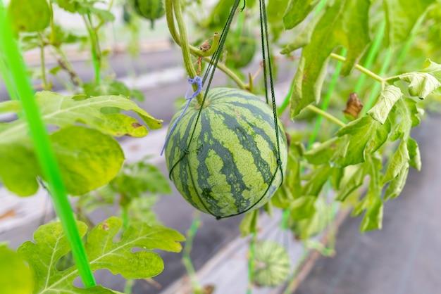 Landbouwindustrie van watermeloenteelt in kassen