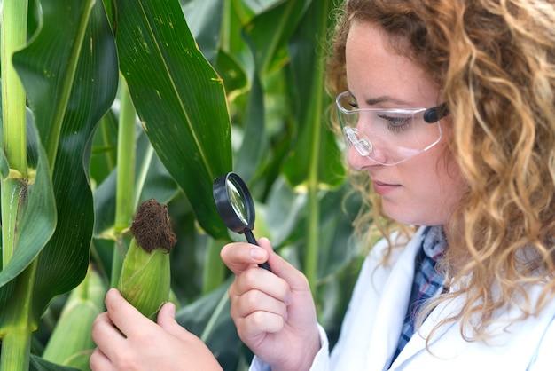 Landbouwingenieur die maïsblad onderzoekt op zoek naar ziekte-indicator