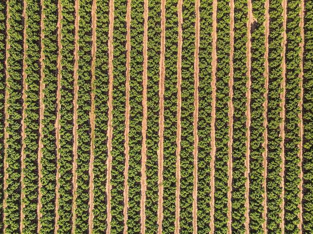 Landbouwlandschap gecultiveerd veld met fruitbomen in rijen