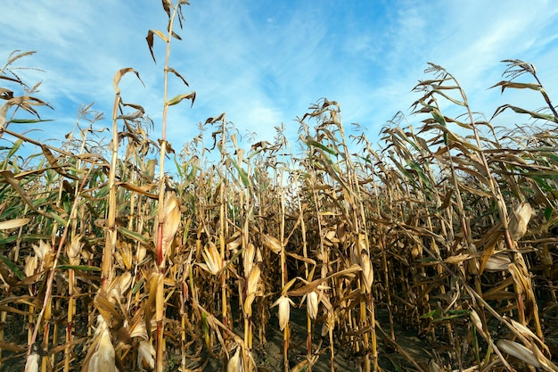 Landbouwveld, dat rijpe maïskolven groeit die klaar zijn voor de oogst. de foto is genomen in de close-up van het herfstseizoen. kleine scherptediepte ... blauwe lucht op de achtergrond.
