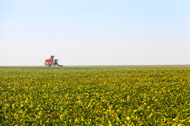 Landbouwveld ingezaaid met bieten een groot aantal planten voor het oogsten van suikerbieten voor de suikerproductie, het oogsten van suikerbieten in de herfst