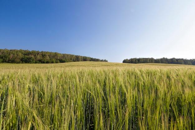 Landbouwveld ingezaaid met tarwe die bijna rijp is en geel wordt gouden kleur, tarwe is niet klaar om geoogst te worden, grote graanopbrengst van onrijpe tarwe