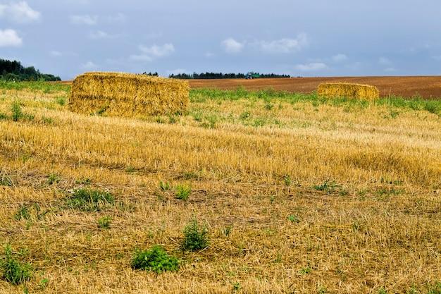 Landbouwveld na het oogsten van tarwe voor voedsel, wordt tarwe tot meel verwerkt