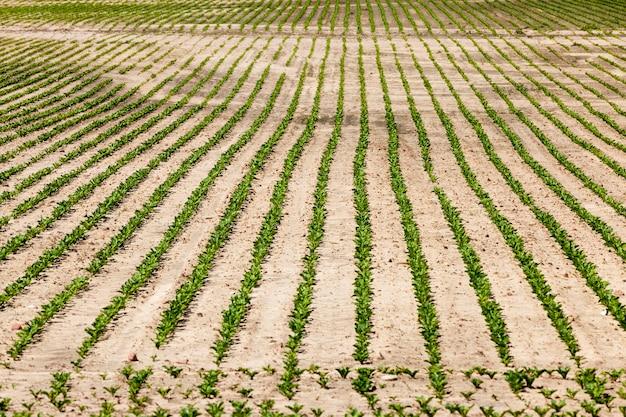 Landbouwveld waar kweekvariëteiten van suikerbieten worden verbouwd, groene suikerbietplanten op vruchtbare gronden, het verkrijgen van een oogst van hoogwaardige suikerbietproducten, close-up