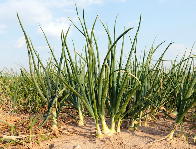 Landbouwveld waarop groene uien uit de grond groeien