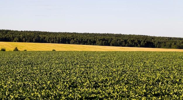 Landbouwveld waarop suikerbieten worden verbouwd, activiteiten voor het verkrijgen van vegetarisch voedsel